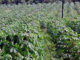 culture-manioc-mambo