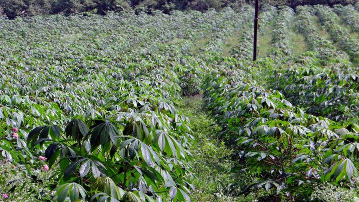 Analyse socio-scientifique des opportunités environnementales induites par les cultures de manioc