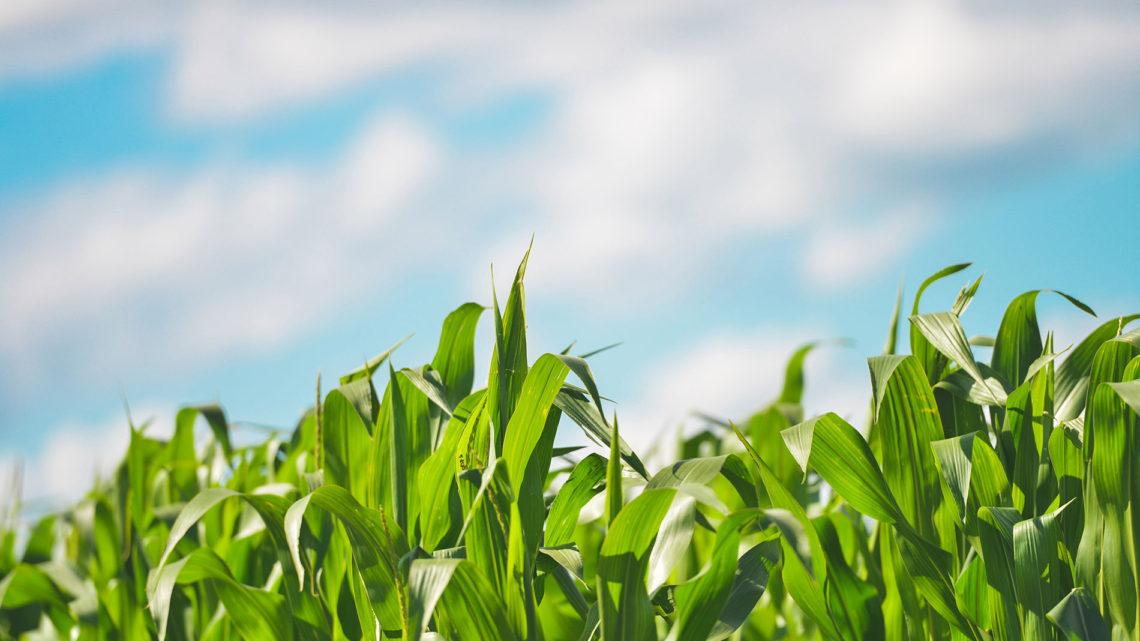 Biodisponibilité pour l'homme du sélénium après ingestion de maïs