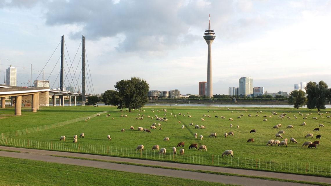 L'éco-pâturage : une nouvelle pratique qui interroge l'espace public