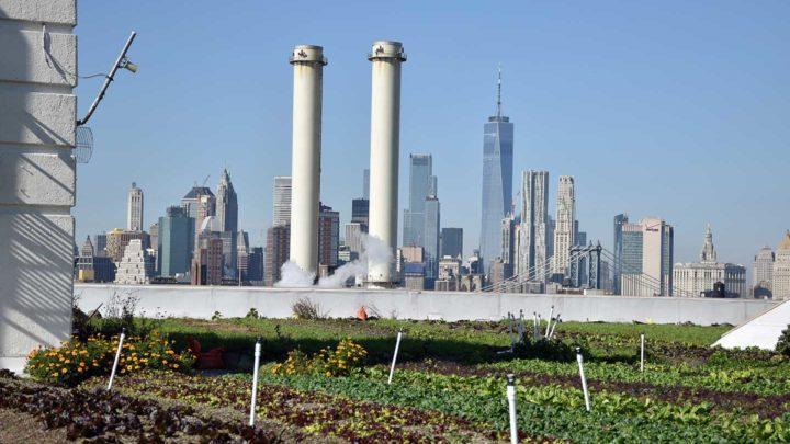 Ils récoltent leurs légumes sur les toits de New-York
