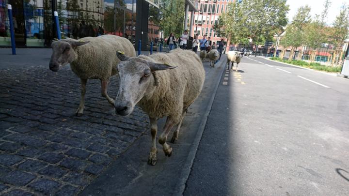 Quand les moutons circulent sur les trottoirs de nos villes