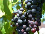 une-article-viticulture