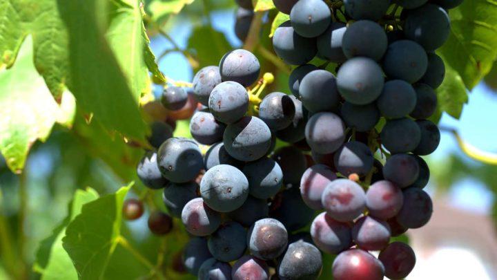 Journée d'étude- La viticulture : vecteur de transition écologique