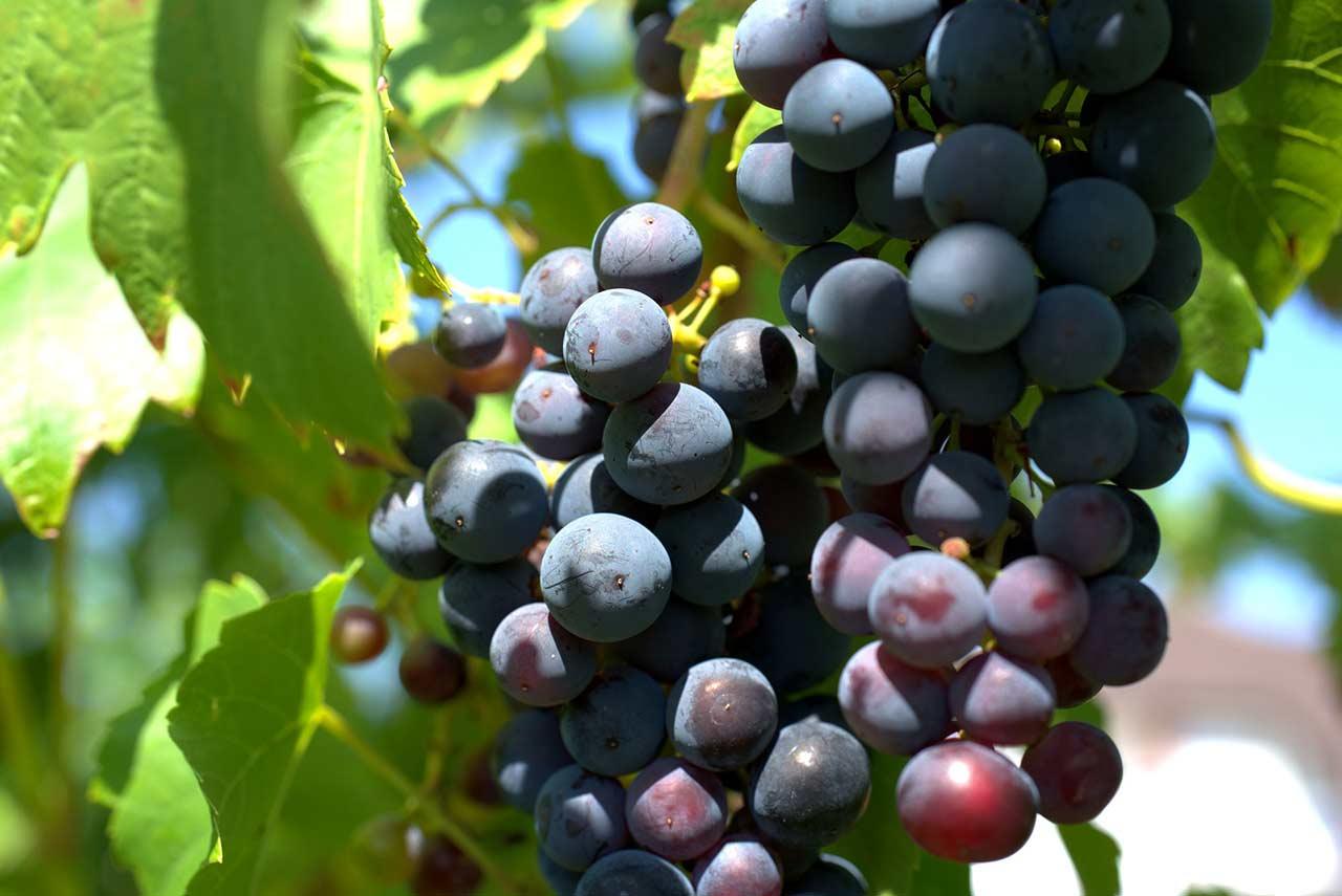 La viticulture un vecteur de transition cologique - Chambre agriculture avignon ...