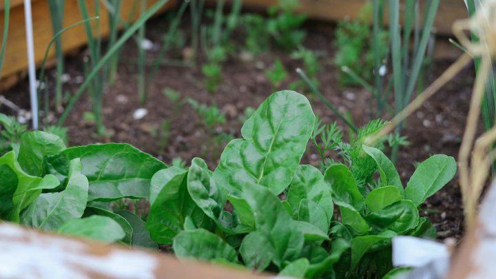 Potagers urbains : la consommation des légumes est-elle sûre ?
